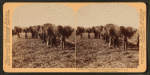 Plantation negroes carrying rice in South Carolina, U.S.A
