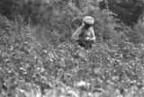 Woman and little girl in the cotton field of Mrs. Minnie B. Guice near Mount Meigs in Montgomery County, Alabama.
