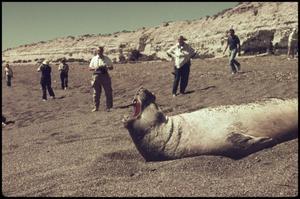 People run to see 'Yawn' - sea lion Argentina, 1973