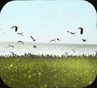 Louisiana Herons [Tricolored Herons] Rising, Dutcher's Island, Louisiana; overall