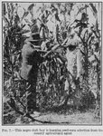 This Negro club boy is learning seed - corn selection from his county agricultural agent