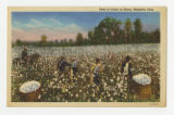 Cotton Workers in the Field