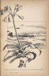 Lehutla, une fleur du Lessouto et le Caledon, près Hermon