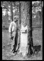 Boy and pine gum pans