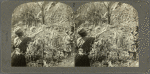 Coffee pickers at work, Guadeloupe, F. W. I