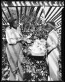 Camellias at Orton Plantation