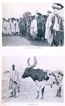 A group of Tuaregs; A Bornu ox