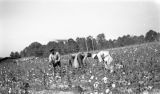 African Americans picking cotton in Wilcox County, Alabama.