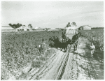Wagon load of cotton coming out of the field in the evening, Mileston Plantation, Mississippi Delta, Oct. 1939