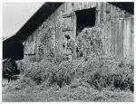 Loading hay into barn on tobacco farm of A. B. Douglas, Blairs, Virginia - Pittsylvania County, Sept. 1939