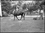 Mule pulls a reel lawnmower steered by an African American man