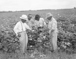 African Americans picking cotton on Joe Poole's plantation, probably in Montgomery County, Alabama.