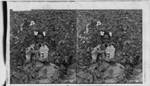 Cotton. Set #4. Darkey girl in cotton patch. Georgia. Probably Upland cotton