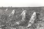 Picking cotton, Lake Dick Project, Arkansas, September 1938