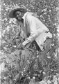 Young woman picking cotton in the field of Mrs. Minnie B. Guice near Mount Meigs in Montgomery County, Alabama.