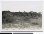 Woman picking Indian figs, South Africa, 1937