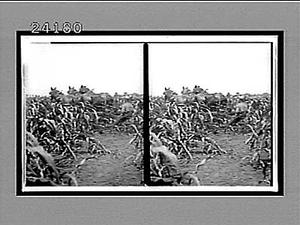 Farm scene. Active no. 11979 : stereo interpositive.