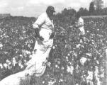 Cotton near Lexington, Tennessee (Wildersville) Field workers picking cotton.