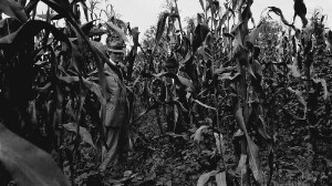 Demonstration corn of Peter WIlliams. More than doubled his yield by demonstration methods. W. D. Weatherford and J. B. Pierce in picture