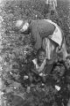 Woman and child picking cotton in the field of Mrs. Minnie B. Guice near Mount Meigs in Montgomery County, Alabama.