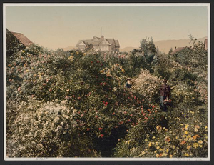 [Rose garden in Pasadena]