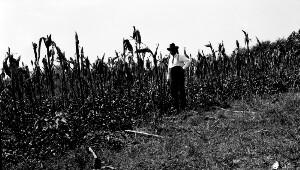 Corn field T. C. Walker