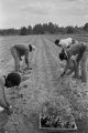 Men planting crops in a field at Tuskegee Institute in Tuskegee, Alabama.