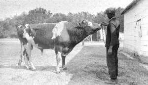 Penn School. Jersey Bull