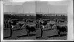 Judging Hereford Bulls, greatest of Cattle Shows, Louisiana Purchase Exposition