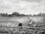 The sweet potato field