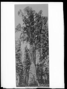 Sequoia gigantea California