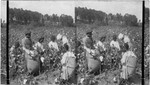 Picking cotton in groups (colored children) to stimulate competition in picking. Georgia