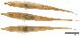 Acestridium dichromum