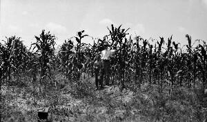 Superintendent W. B. Coggin, Demonstration plot of corn.
