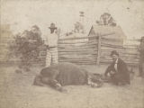 """""""Hypodermic injection by Dr. McCrummen. A sick mule at the convict stockade - Sprague Junction, Alabama."""""""