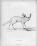 Fennecus cerdo