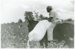 African American cotton plantation worker, hired as a day laborer, riding a mule and holding down a sack of cotton in the cotton field at Nugent Plantation, Benoit, Mississippi Delta, Mississippi, October 1939