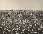 African Americans picking cotton in a field in Alabama.