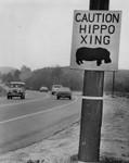 Fugitive hippo faces shoot-to-kill order