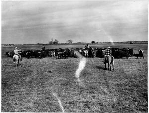 [Picture of a herd of cattle and cowboys]