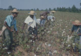People picking cotton in the field of Mrs. Minnie B. Guice near Mount Meigs in Montgomery County, Alabama.