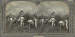 Cutting the Sugar Cane, Rio Perdo, Porto Rico