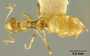 Acantholepis chapmani Wheeler, 1935