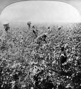 Harvesting cotton