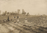 African Americans picking strawberries in Cuba, Alabama.