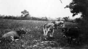 Dairy Herd. Cows. Stillman Institute.