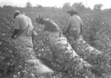 Man and two women picking cotton in the field of Mrs. Minnie B. Guice near Mount Meigs in Montgomery County, Alabama.