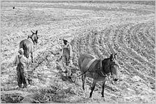Planting cotton, 1941