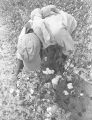 Man picking cotton in the field of Mrs. Minnie B. Guice near Mount Meigs in Montgomery County, Alabama.