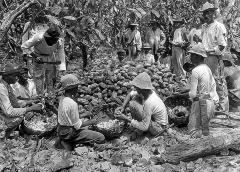 West Indies - Negroes Husking Cacao Pods